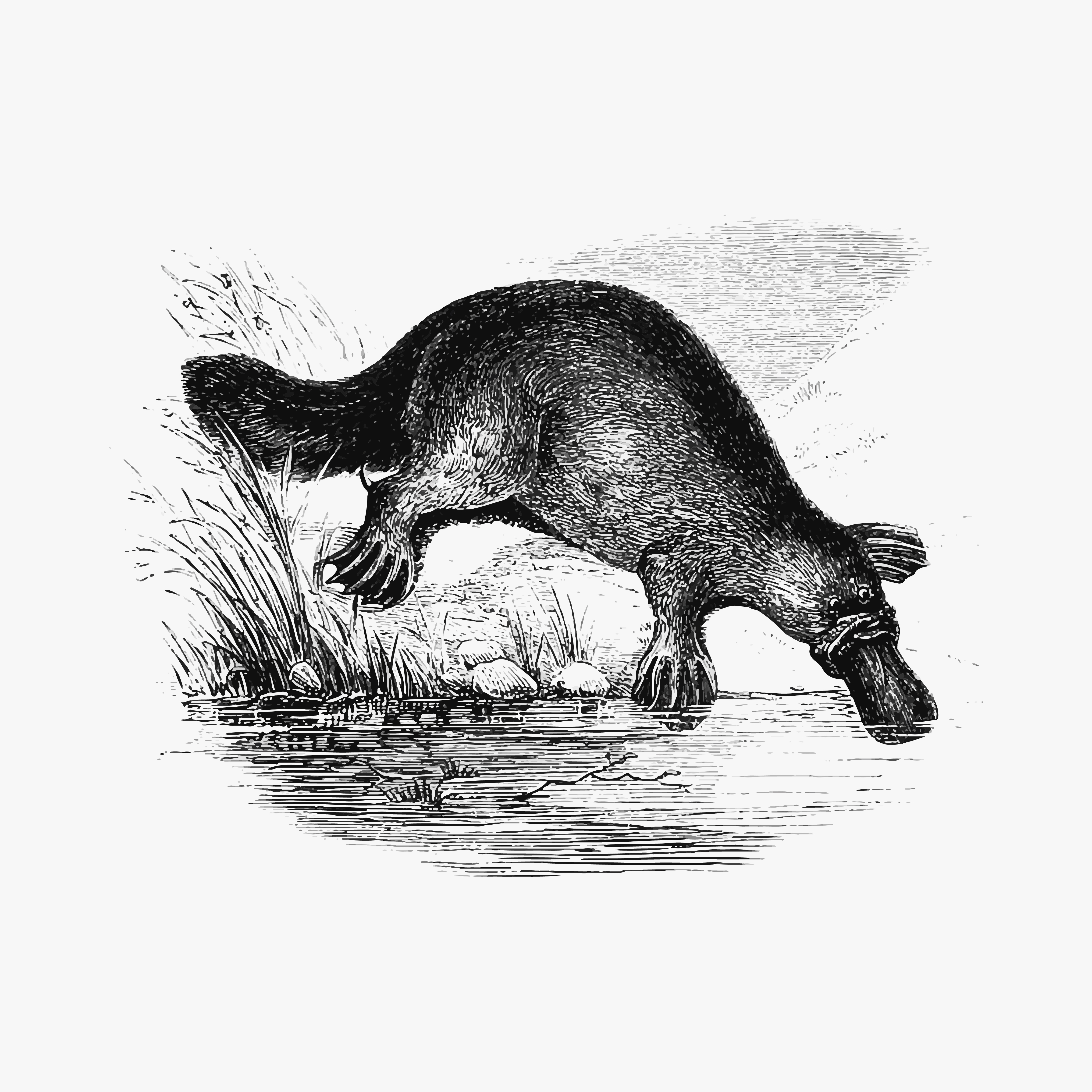 draw a platypus duck billed platypus shade drawing download free vectors a platypus draw