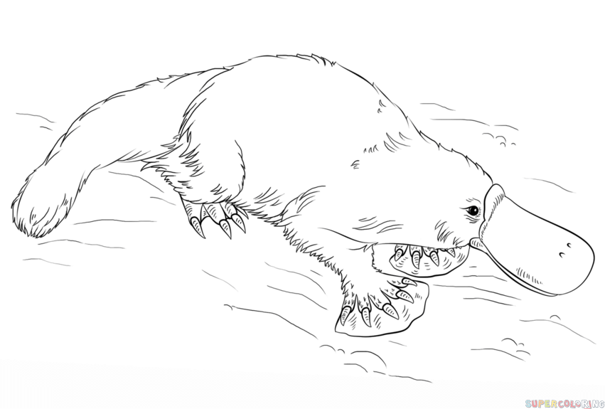 draw a platypus how to draw a platypus step by step drawing tutorials for platypus draw a