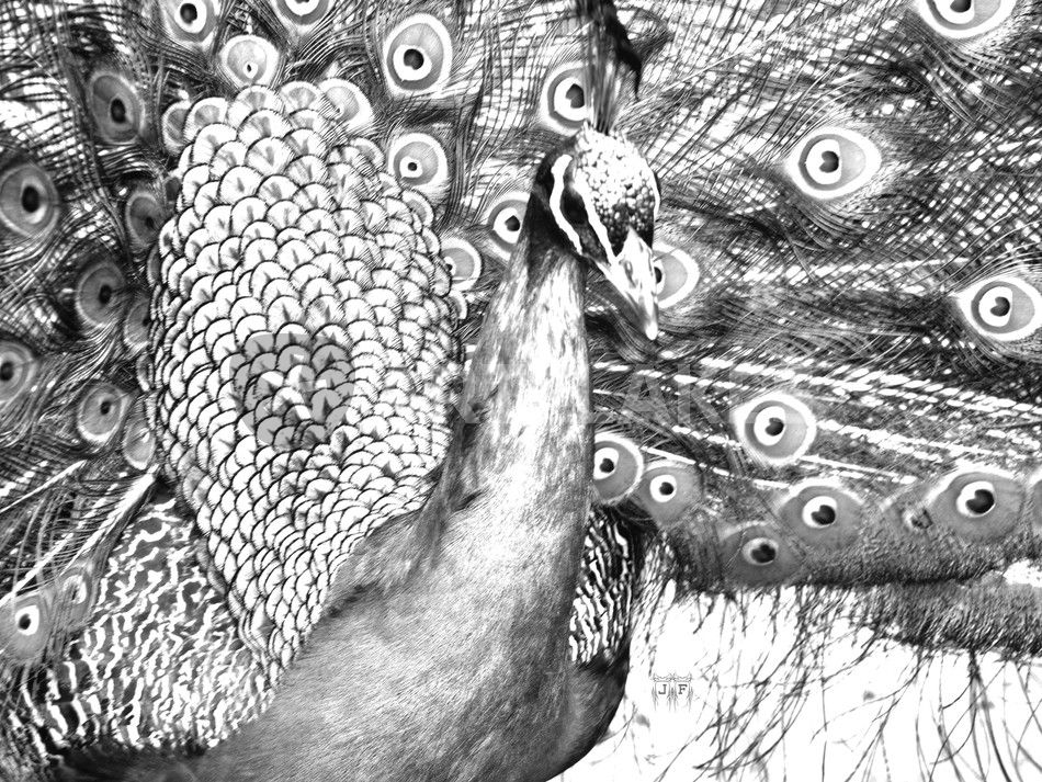 draw peacock cool collections peacocks draw peacock