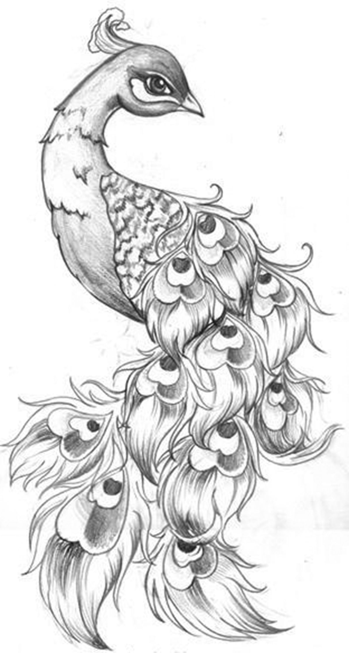 draw peacock peacock black and white drawing at getdrawings free download draw peacock