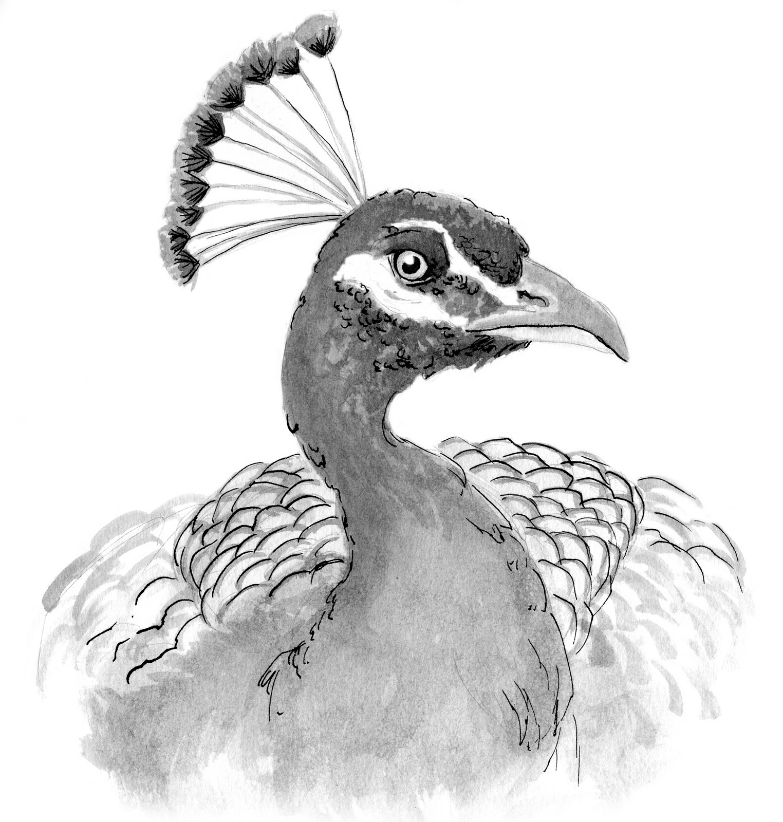 draw peacock peacock drawing black and white at paintingvalleycom draw peacock