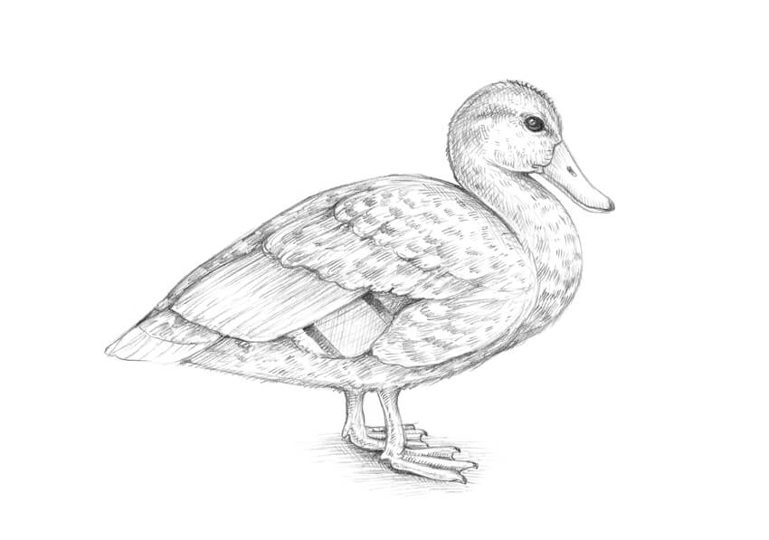 drawing a duck colours drawing wallpaper cute duck drawing cartoon hd drawing duck a