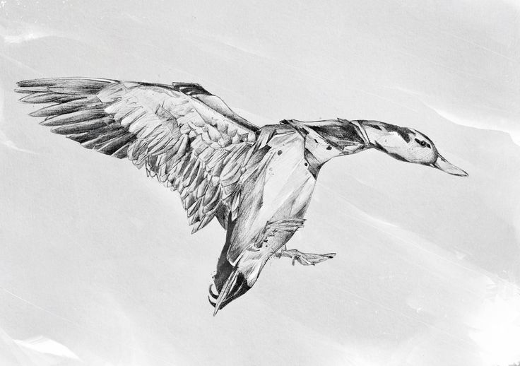 drawing a duck flying duck drawing at paintingvalleycom explore a duck drawing
