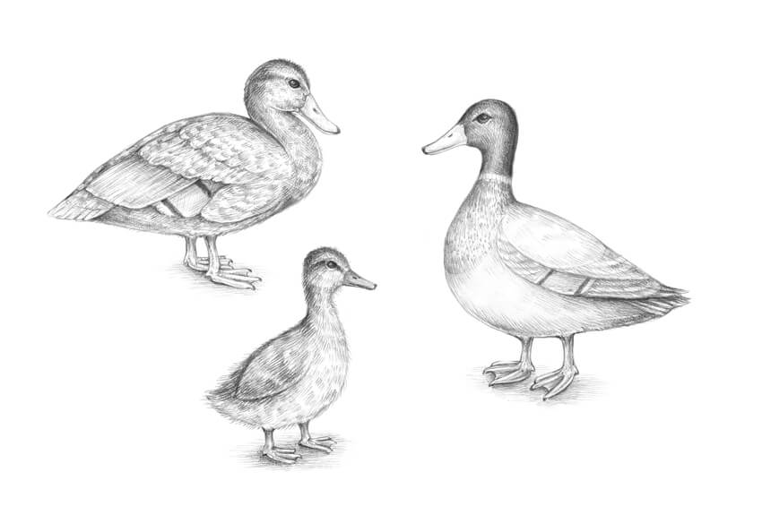 drawing a duck how to draw a duck a practical step by step guide to duck a drawing