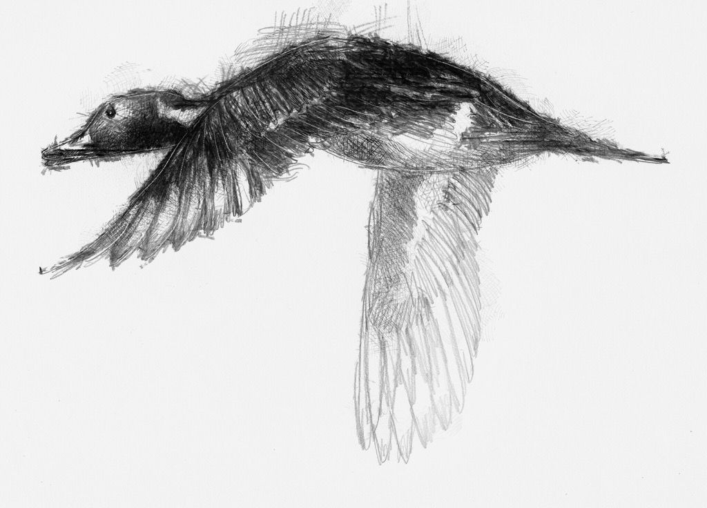 drawing a duck how to draw a duck in flight in pen and ink drawing a duck