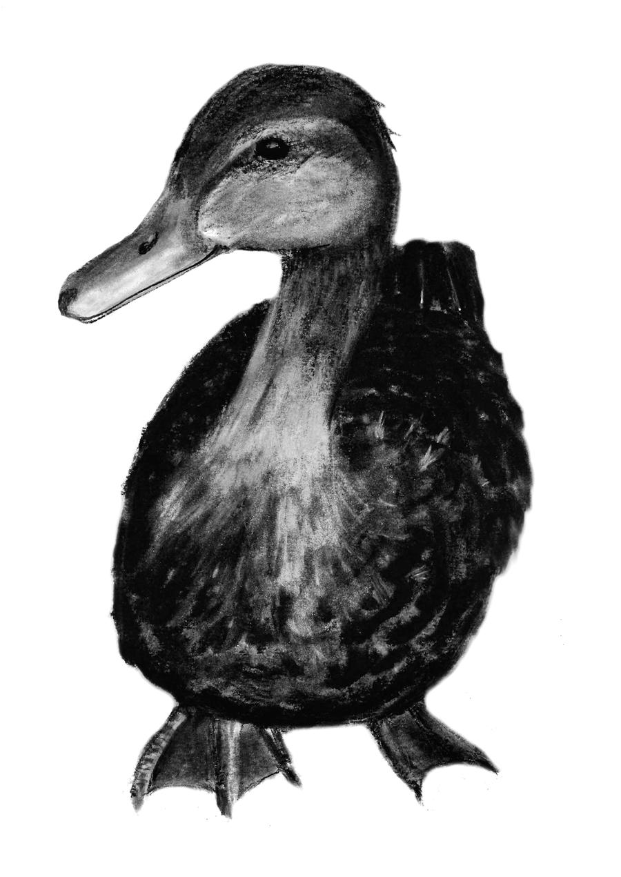 drawing a duck king drawing at getdrawings duck free transparent duck drawing a
