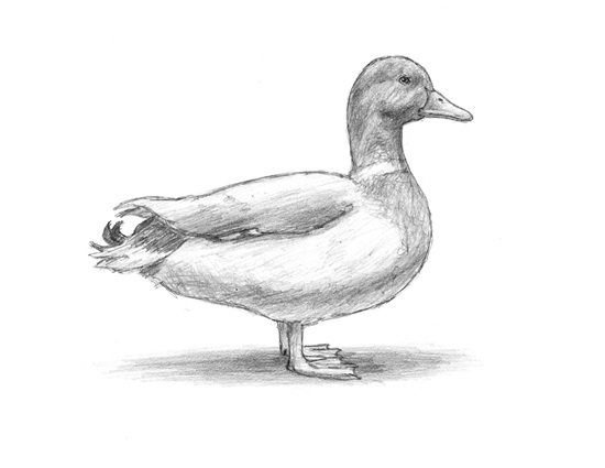 drawing a duck mallard duck drawing free download on clipartmag duck drawing a