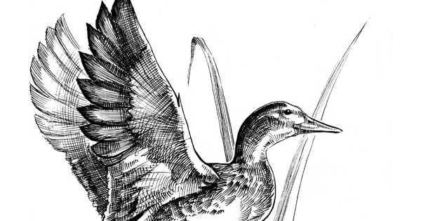 drawing a duck mandarin duck with images bird drawings sketch a day a drawing duck