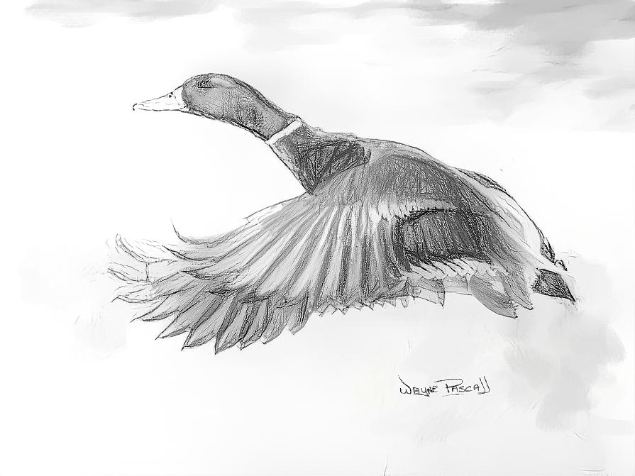 drawing a duck wood duck in pond drawing by sarah batalka duck a drawing