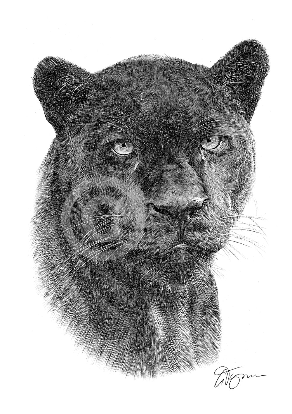 drawing of a black panther black panther pencil drawing art print a4a3 sizes african drawing black panther a of