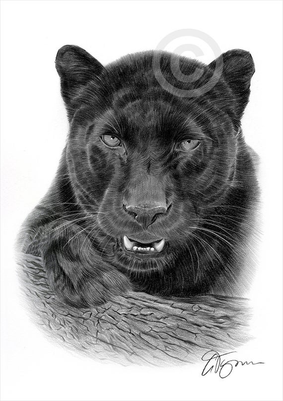 drawing of a black panther black panther pencil drawing art print big cat illustration of drawing a black panther