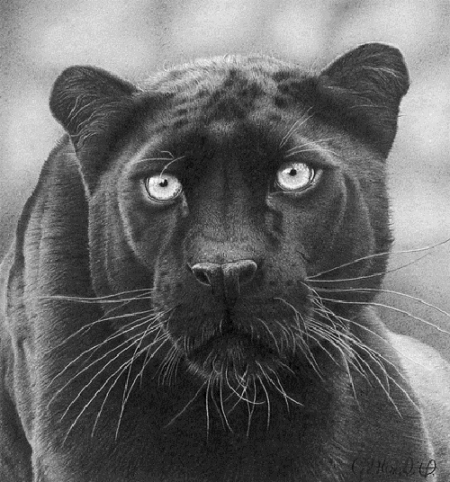 drawing of a black panther realistic pencil drawing by clive meredith art kaleidoscope black of panther a drawing
