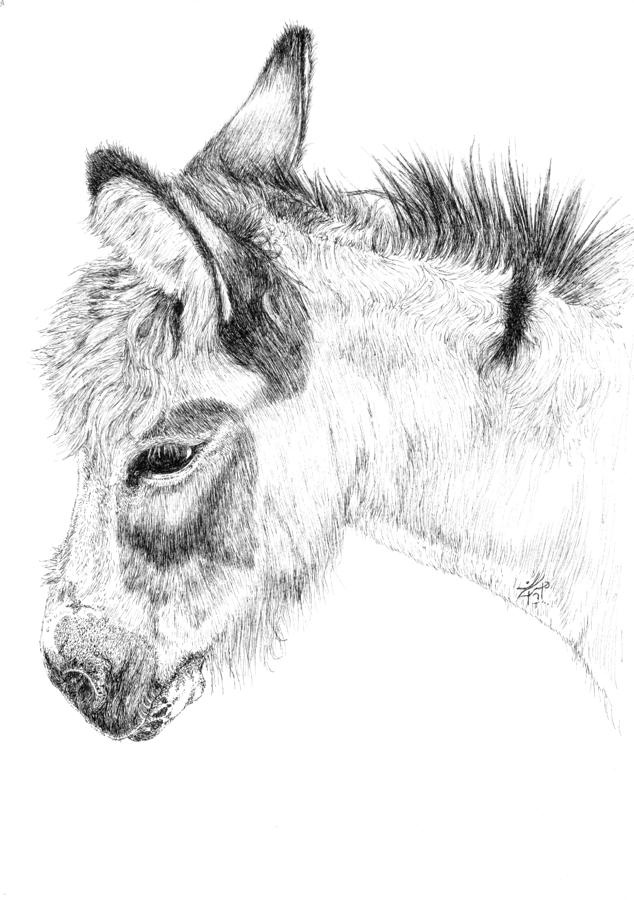 drawing of a donkey animals donkey drawing by mgl meiklejohn graphics licensing drawing donkey a of