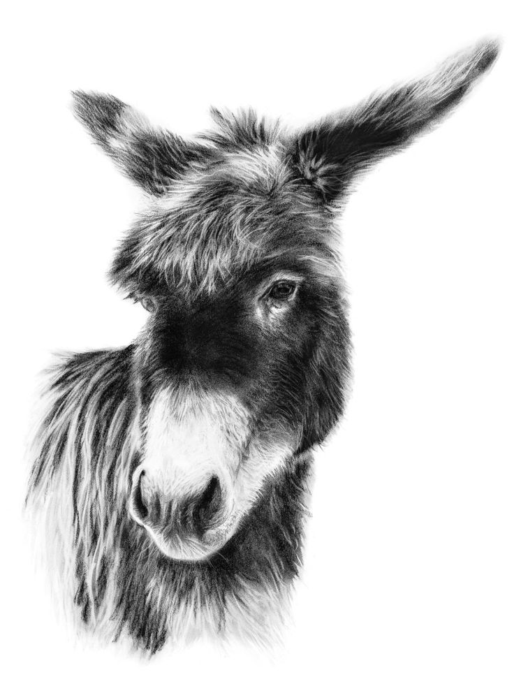 drawing of a donkey donkey face drawing drawing of donkey a