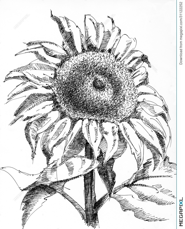 drawing of a sunflower black and white sunflower drawing free download on a sunflower drawing of