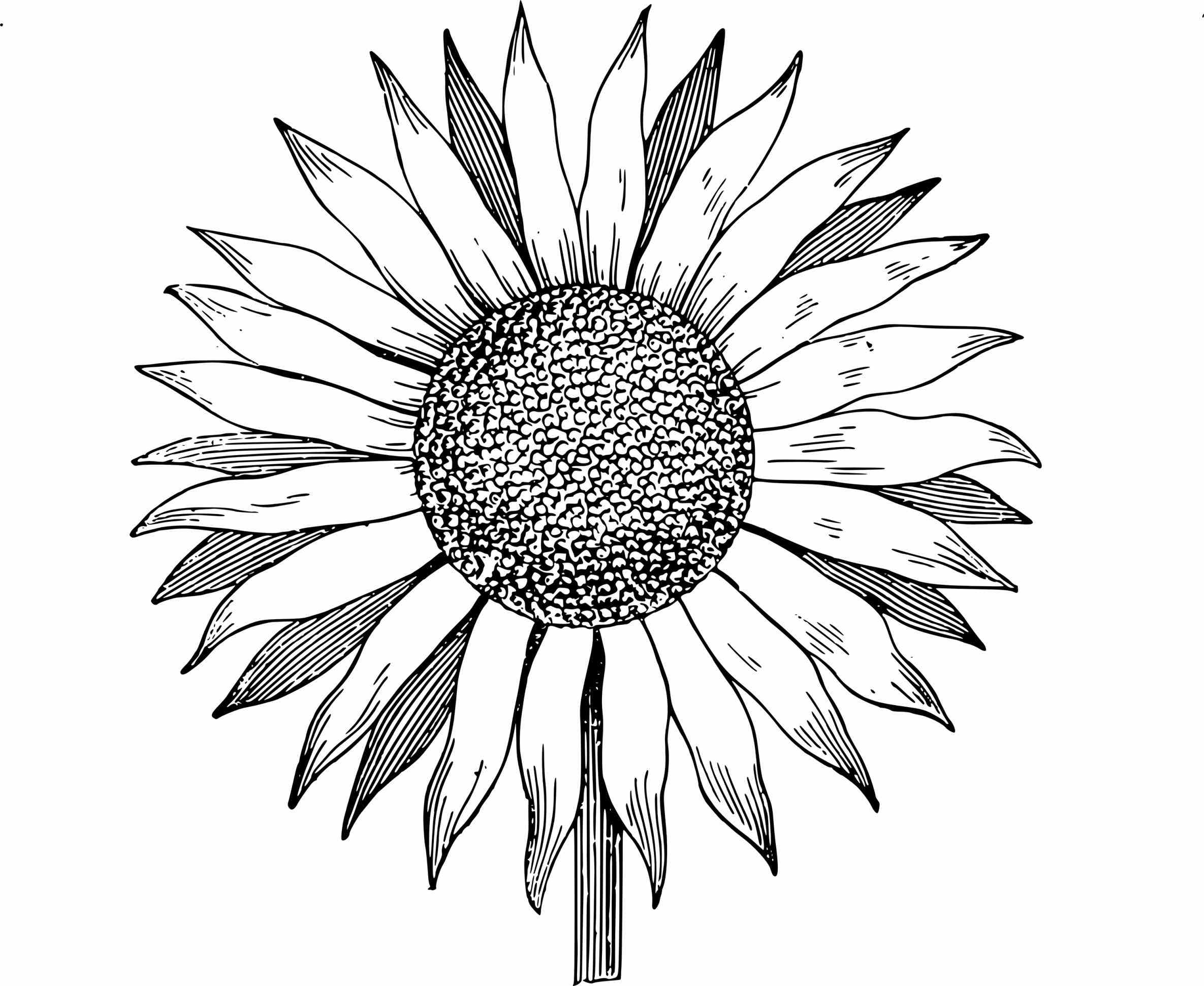 drawing of a sunflower how to draw sunflower youtube a sunflower drawing of