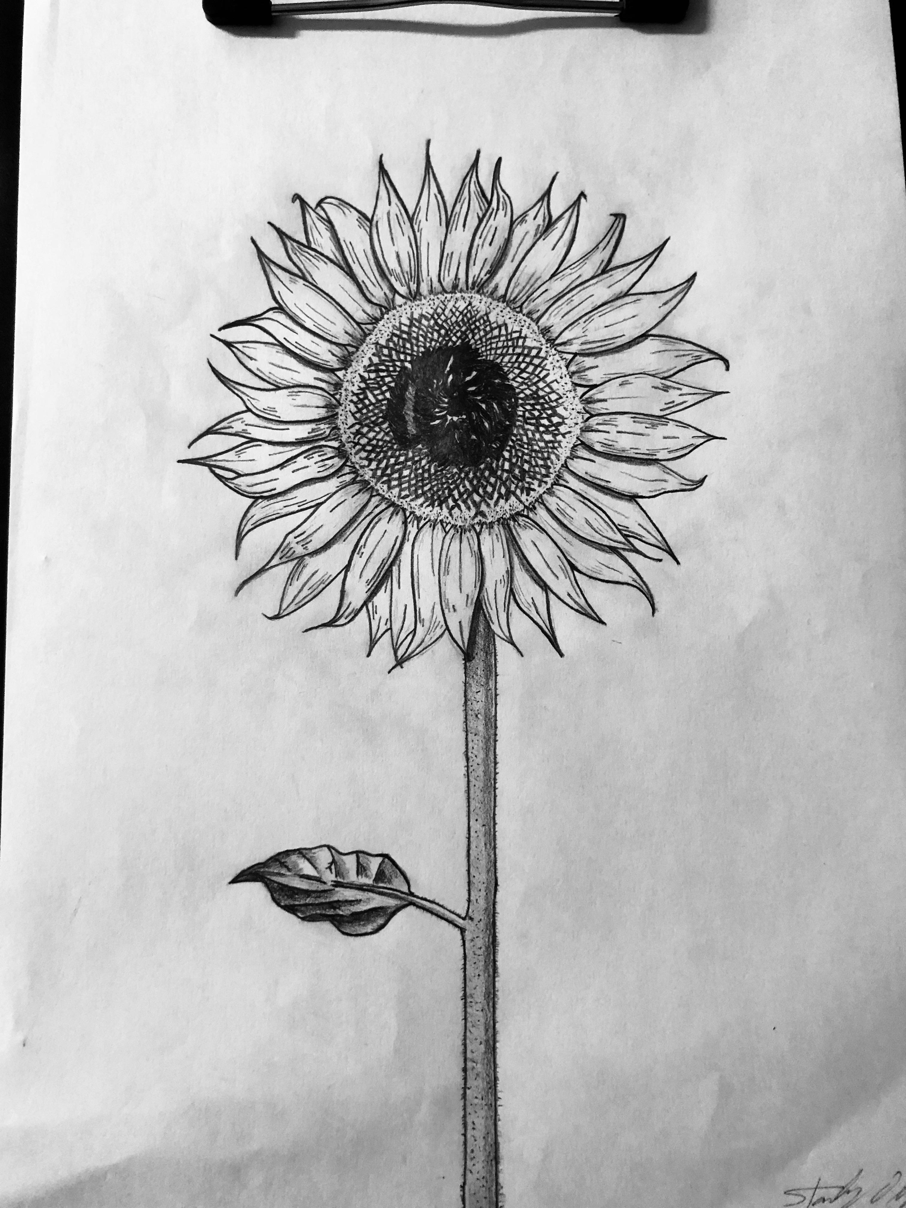 drawing of a sunflower lessons in pencil sunflower creating a masterpiece a of drawing sunflower