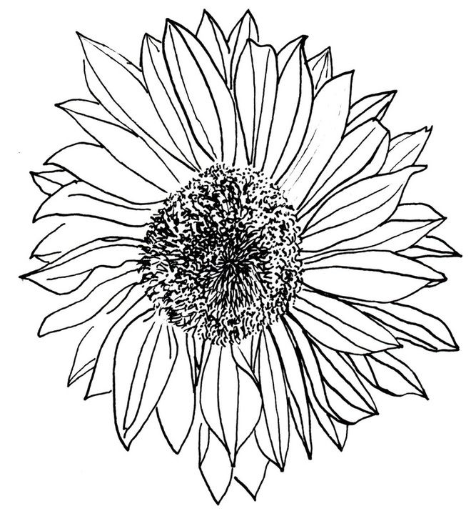 drawing of a sunflower pencil sketch of sunflower png download realistic a of drawing sunflower