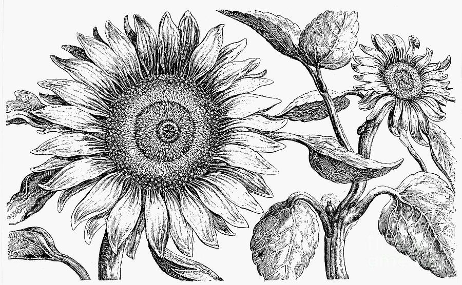 drawing of a sunflower sunflower drawing black and white at paintingvalleycom sunflower of drawing a