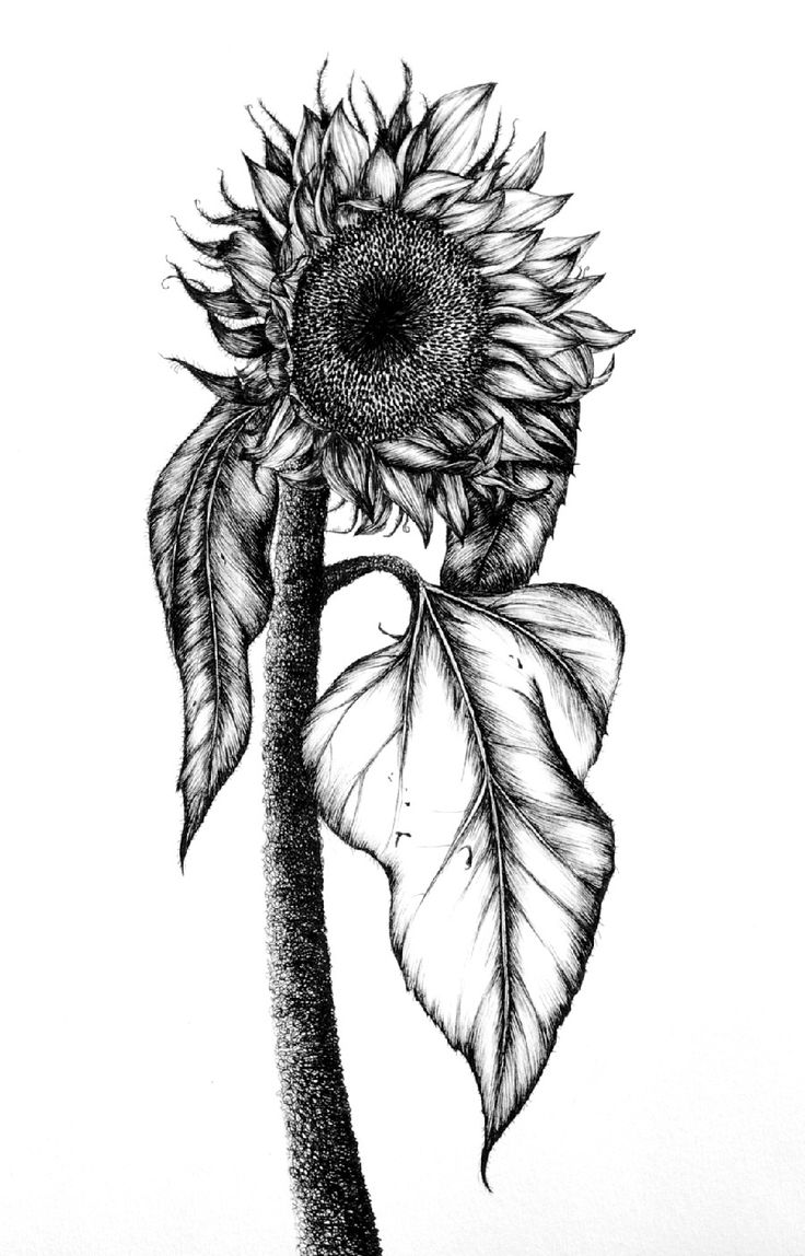 drawing of a sunflower sunflower drawing black and white free download on drawing a of sunflower