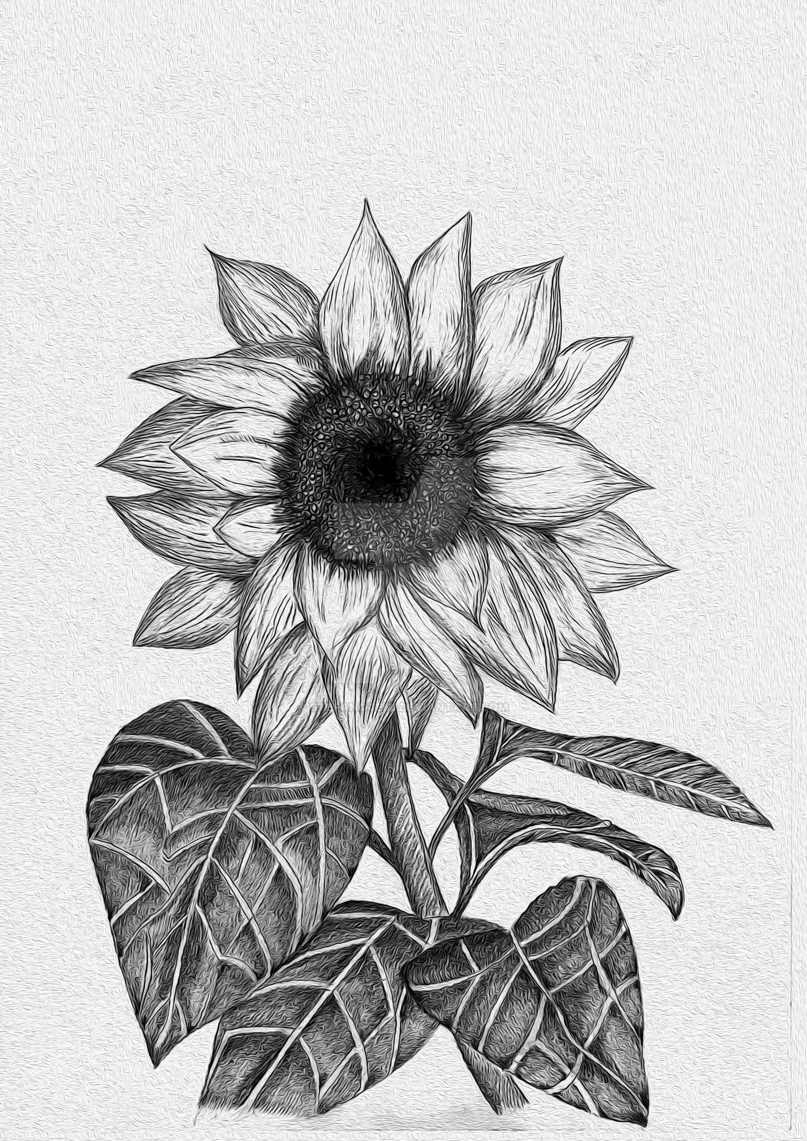 drawing of a sunflower sunflower drawing by zachzurn on deviantart sunflower a drawing of