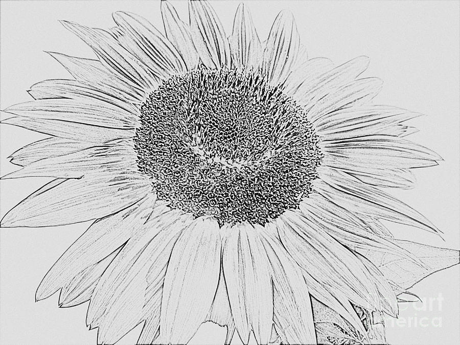 drawing of a sunflower sunflower drawing drawing a drawing of sunflower