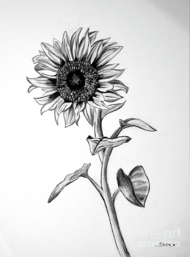 drawing of a sunflower sunflower drawing template at getdrawings free download of a drawing sunflower