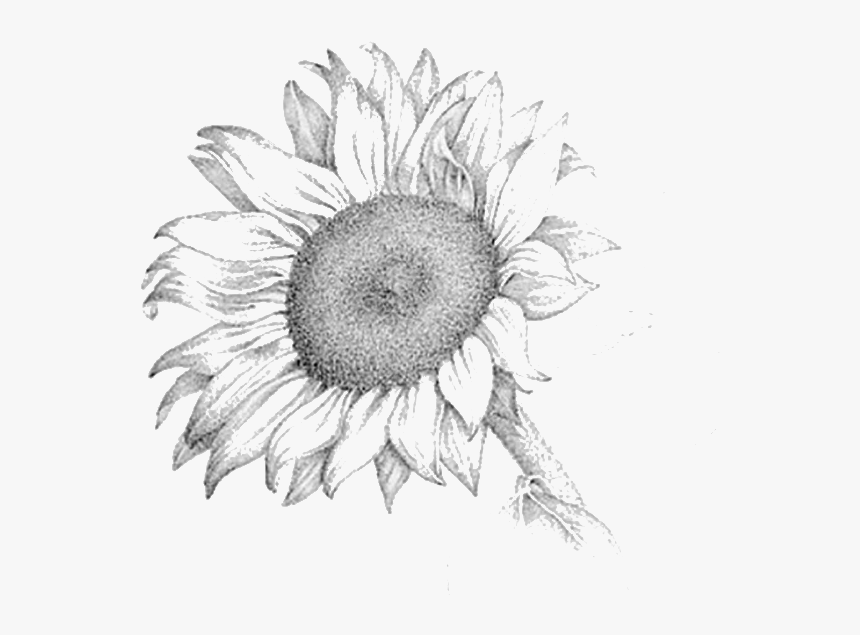 drawing of a sunflower sunflower pencil drawing at getdrawings free download drawing of sunflower a