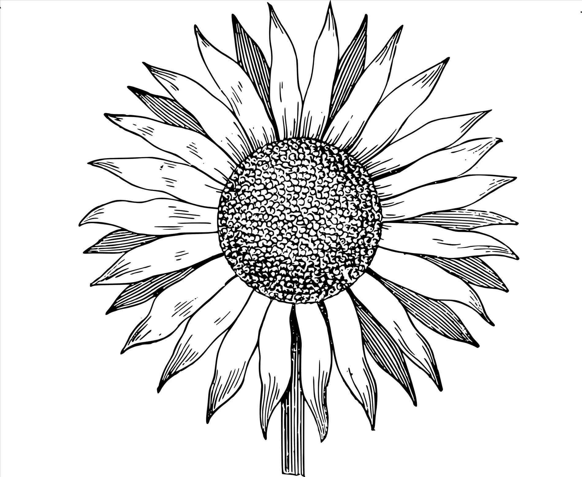 drawing of a sunflower sunflower vector free at getdrawings free download of drawing sunflower a