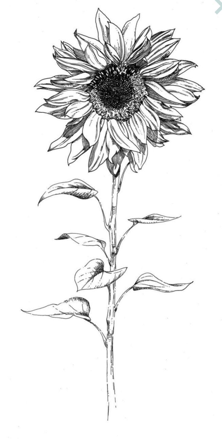 drawing of a sunflower the best free sunflower drawing images download from 1153 a sunflower of drawing