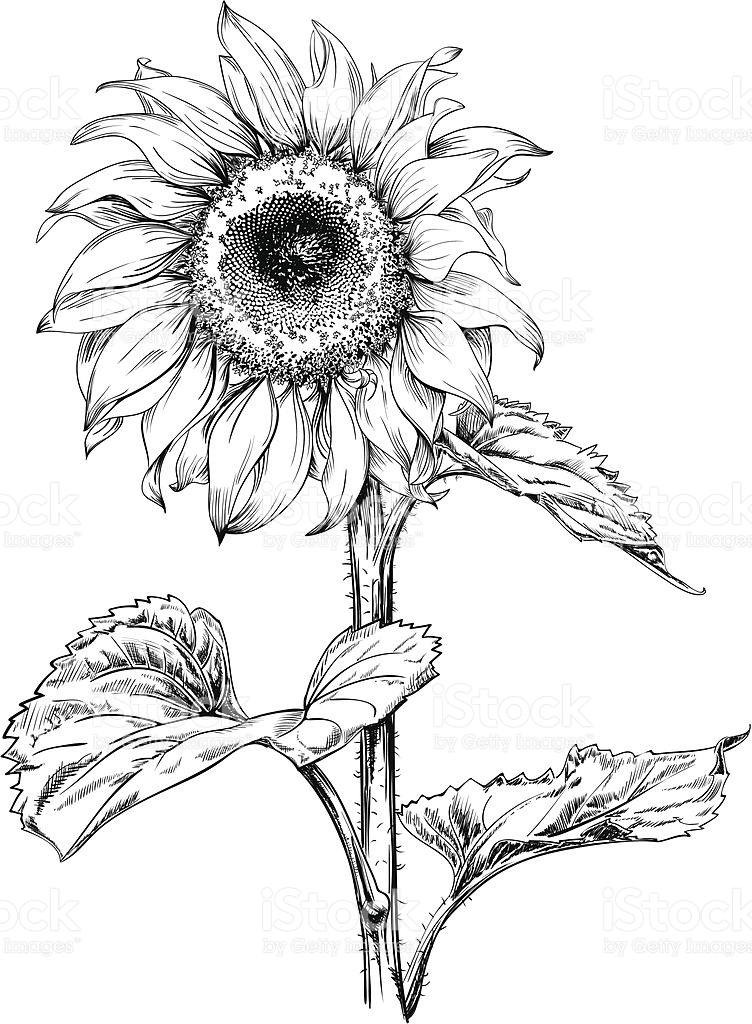 drawings of sunflowers sunflower clipart instant download pen ink sunflowers drawings of