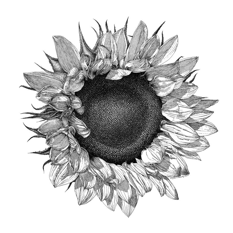 drawings of sunflowers sunflower drawing by pam belcher sunflowers drawings of