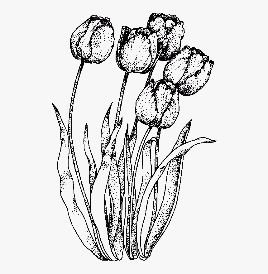 drawings of tulips black and white tulip drawing google search parrot tulips drawings of