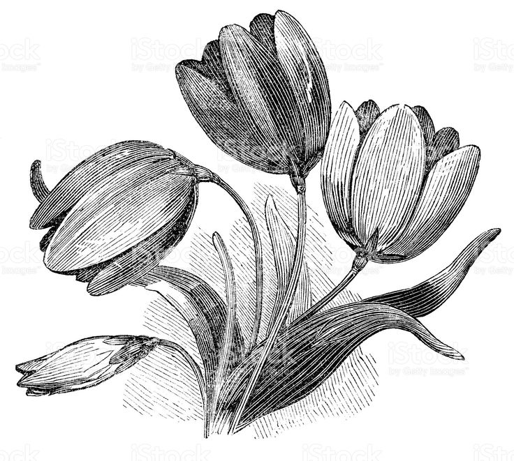 drawings of tulips how to draw a tulip drawingforallnet drawings of tulips