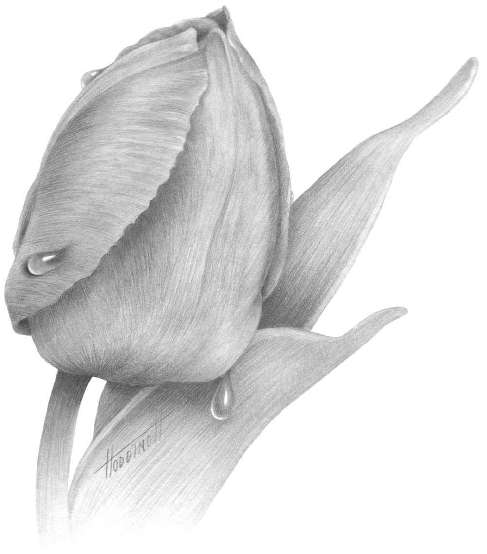 drawings of tulips the best free tulip drawing images download from 525 free of tulips drawings
