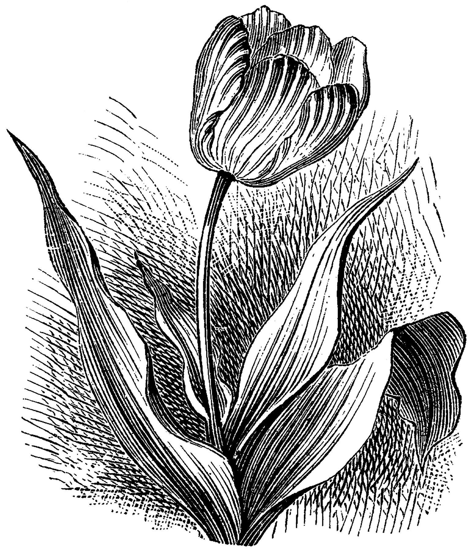 drawings of tulips tulip drawing at paintingvalleycom explore collection tulips of drawings