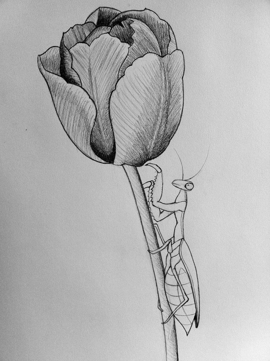 drawings of tulips tulip drawing step by step at getdrawings free download of tulips drawings