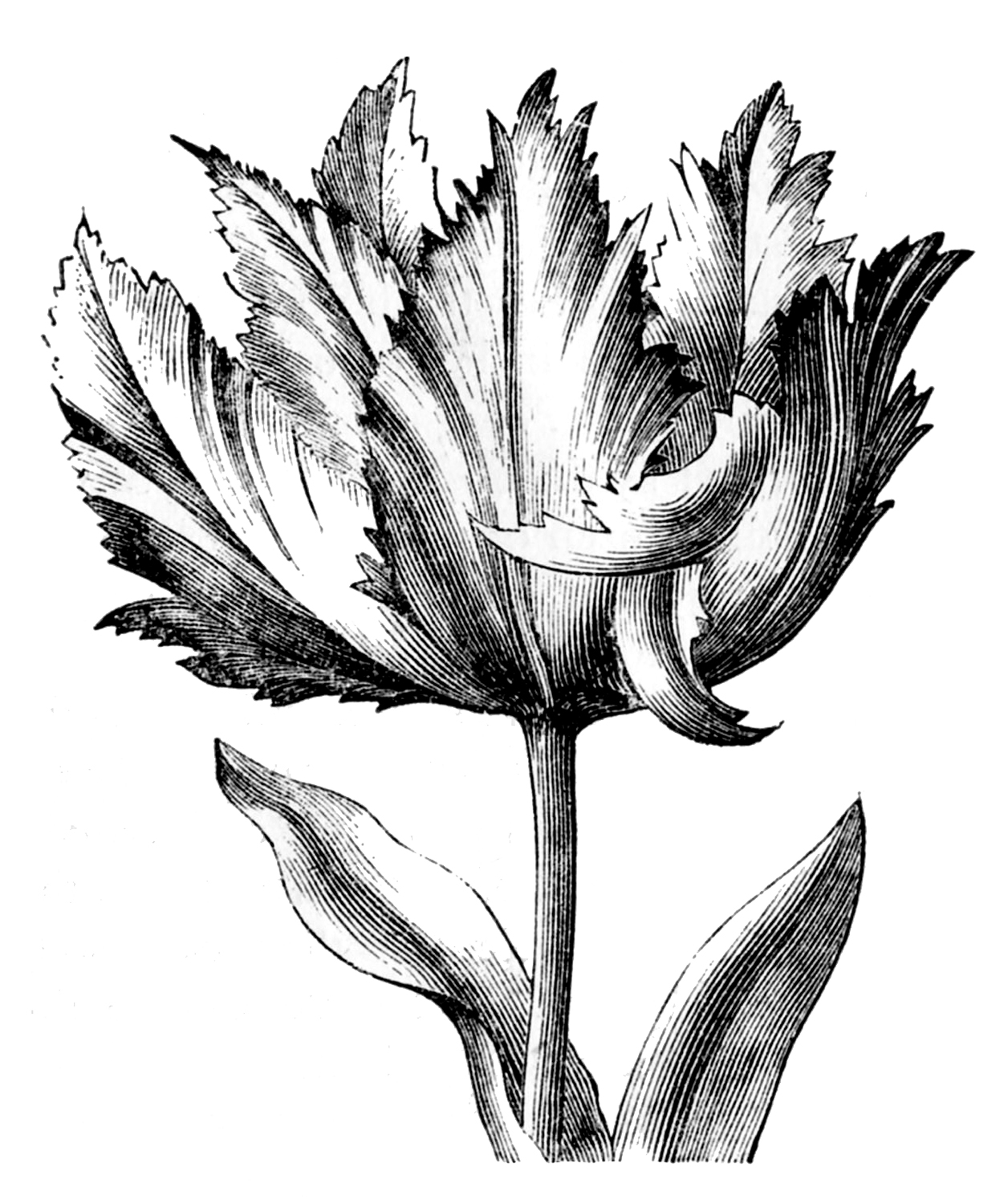 drawings of tulips tulip flower graphic black white isolated sketch of tulips drawings