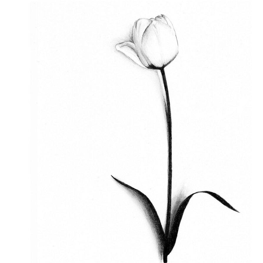 drawings of tulips tulip illustration original drawing pen ink sketch black drawings tulips of