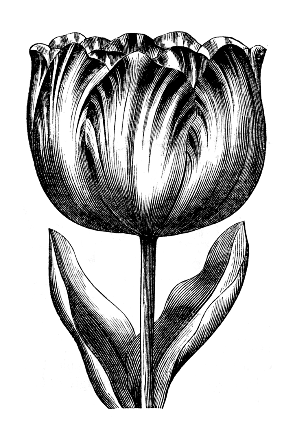 drawings of tulips tulips drawing by diane cardaci the sketch hunter drawings tulips of