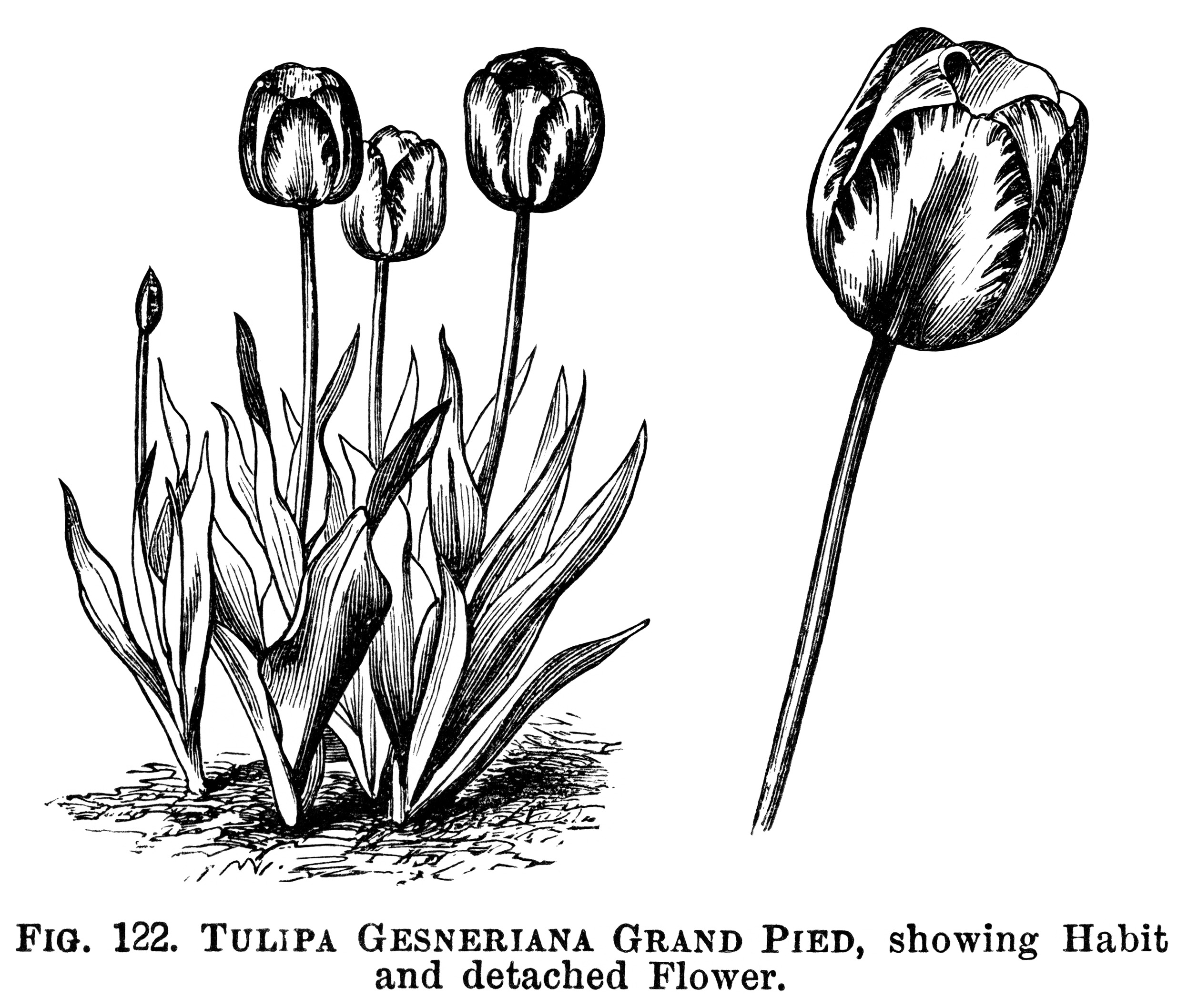 drawings of tulips tulips drawing outlines clipart best tulips drawings of