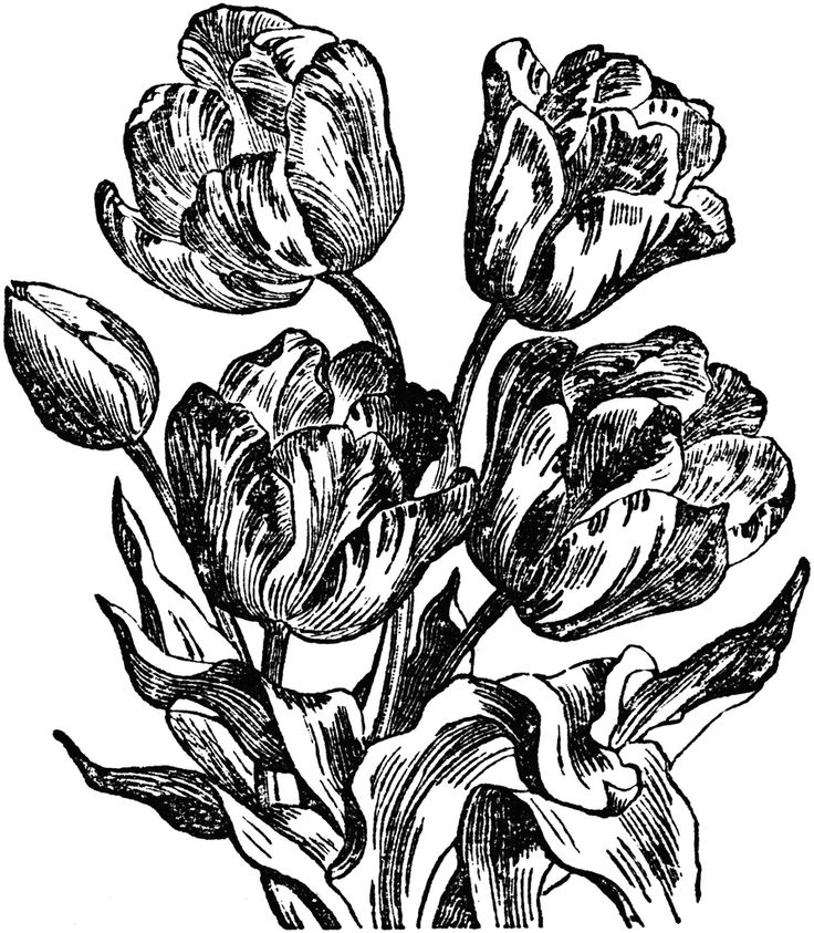 drawings of tulips tulips free vintage clip art old design shop blog of drawings tulips