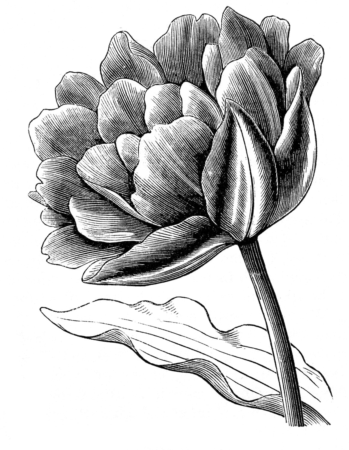 drawings of tulips vintage clip art spring tulips the graphics fairy drawings of tulips