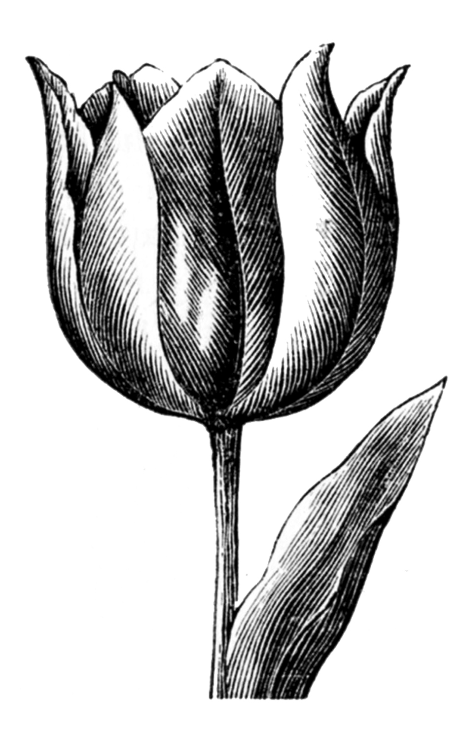 drawings of tulips vintage clip art spring tulips the graphics fairy drawings of tulips 1 1