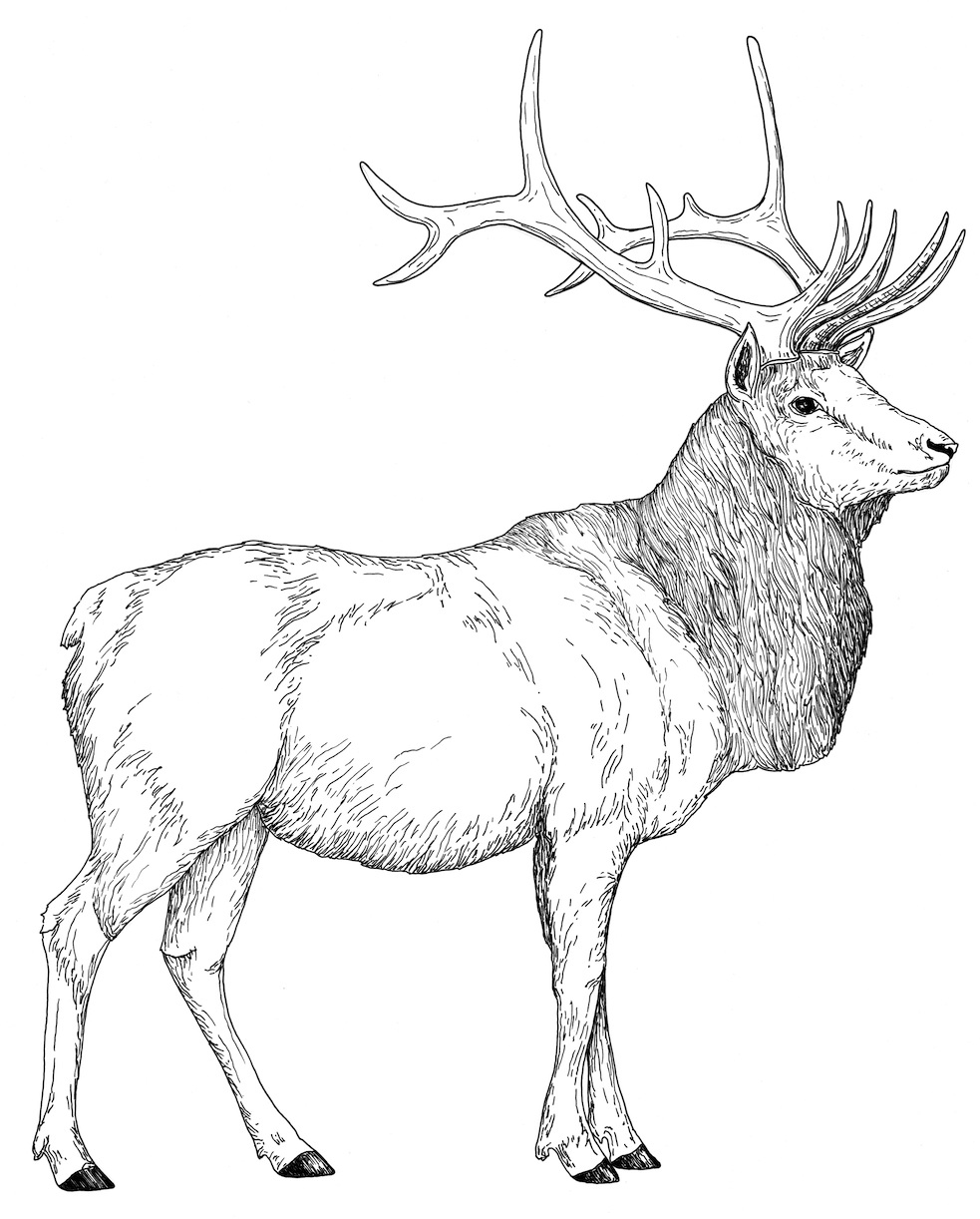 elk coloring pages how to draw an elk coloring pages download print pages elk coloring