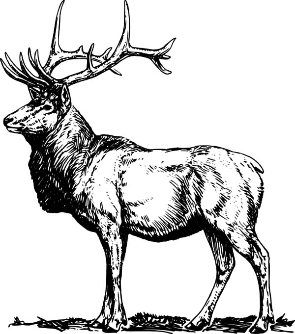 elk coloring pages rocky mountain elk coloring page az pages sketch coloring page elk coloring pages