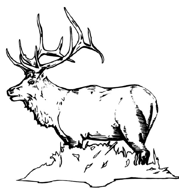 elk pictures to color free printable elk coloring pages coloring home color elk pictures to