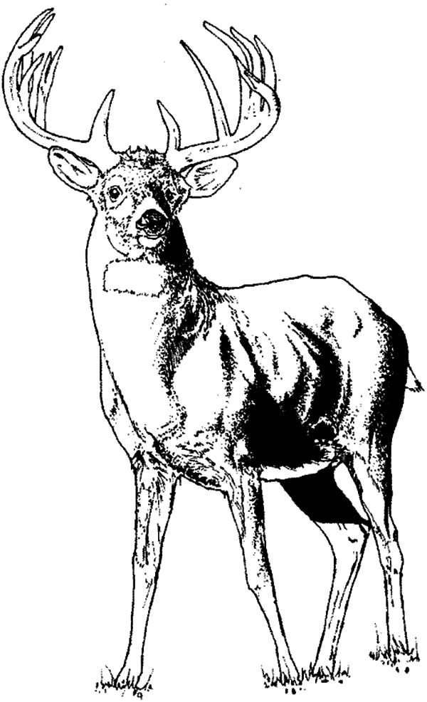 elk pictures to color free printable elk coloring pages coloring home elk color pictures to