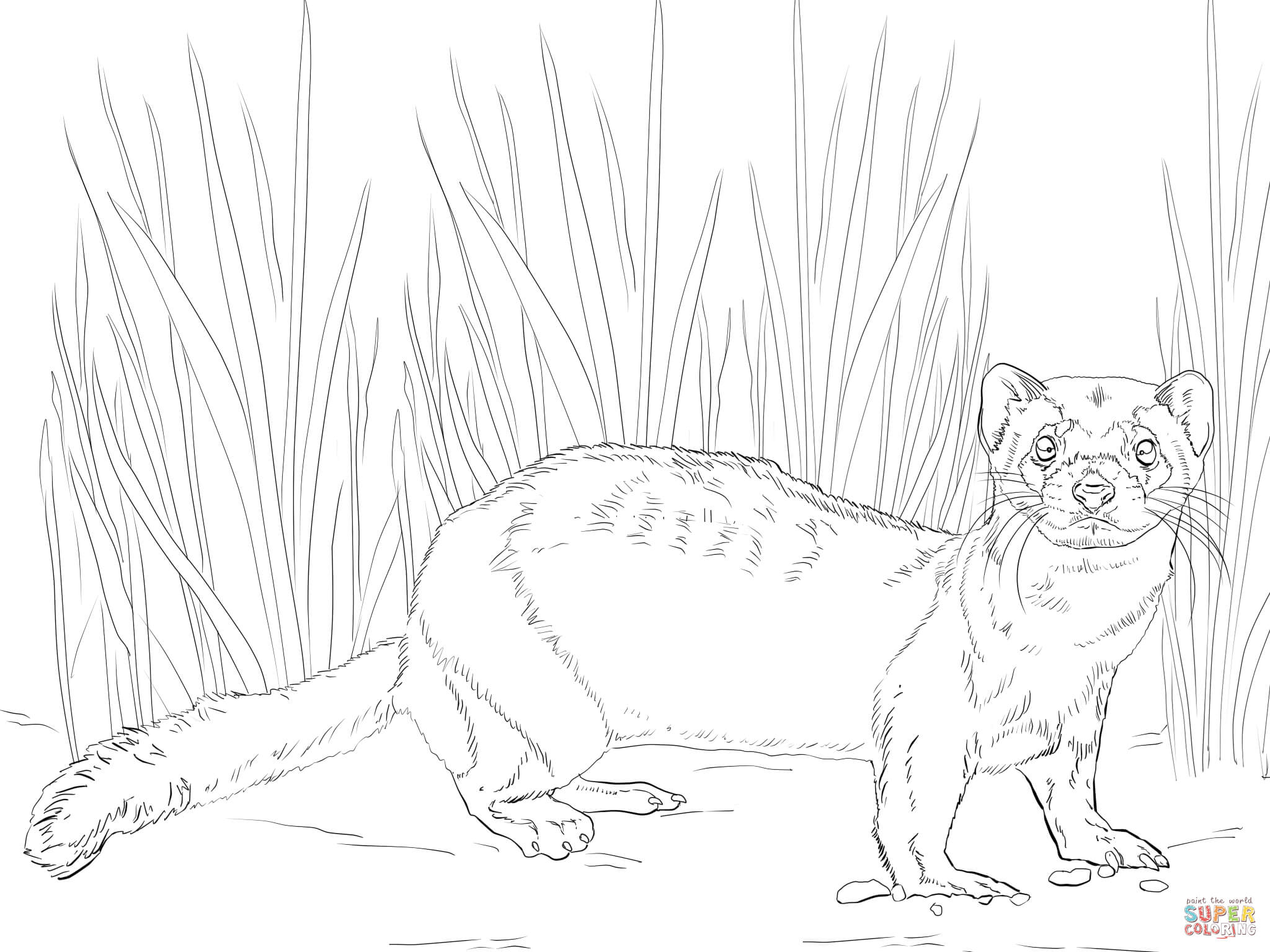 ferret coloring pages black footed ferret coloring page at getdrawings free coloring pages ferret
