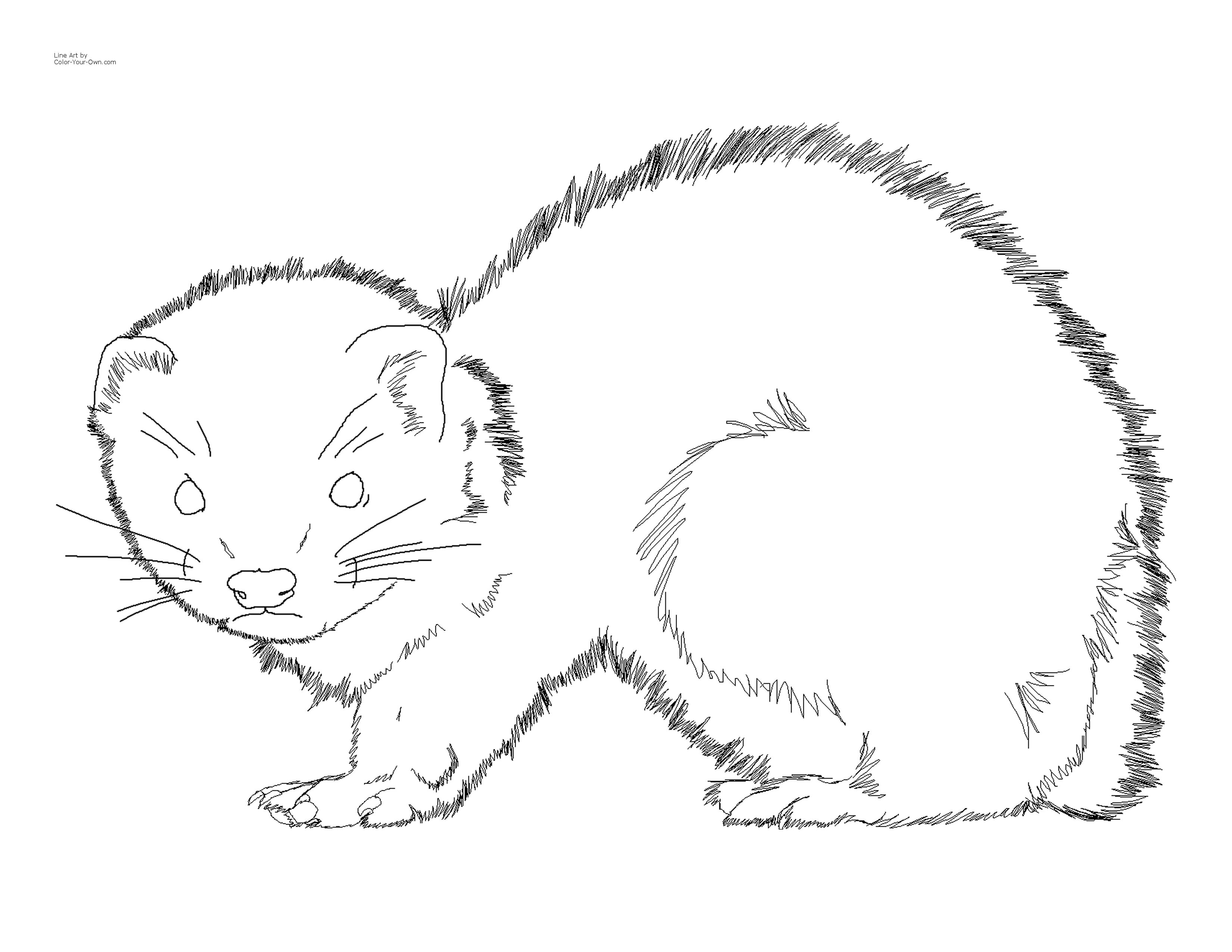 ferret coloring pages ferret coloring page coloring pages ferret